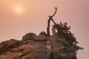 Stativkiefer im Nebel